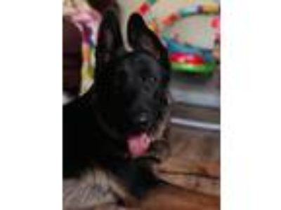 Adopt Severus a Black - with Tan, Yellow or Fawn German Shepherd Dog dog in San