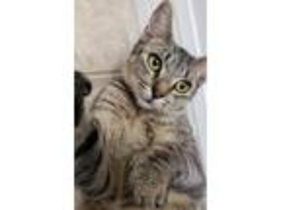 Adopt April a Gray, Blue or Silver Tabby Domestic Shorthair / Mixed (short coat)
