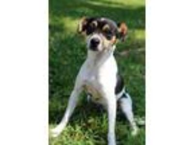 Adopt Grizzles a Tricolor (Tan/Brown & Black & White) Parson Russell Terrier /