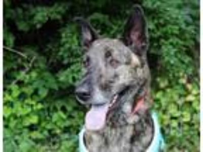 Adopt BURKE a Dutch Shepherd, Mixed Breed