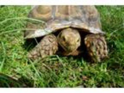 Adopt Sulcata Tortoises(8) a Tortoise reptile, amphibian