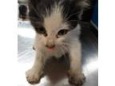 Adopt K-8 a White Domestic Shorthair / Domestic Shorthair / Mixed cat in