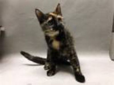 Adopt Laguardia a Domestic Shorthair / Mixed (short coat) cat in New York