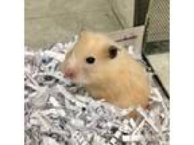 Adopt Rocky Road a Hamster