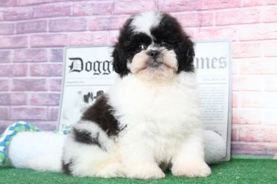 Lhasa-Poo PUPPY FOR SALE ADN-95888 - Milo Pretty Cool Male LhasaPoo Puppy