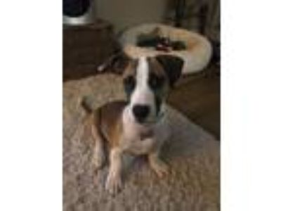 Adopt Stubs a Tricolor (Tan/Brown & Black & White) Hound (Unknown Type) / Mixed