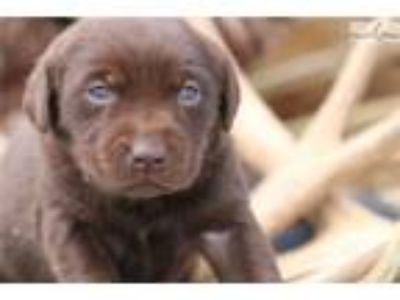 Gorgeous Chocolate Female Lab