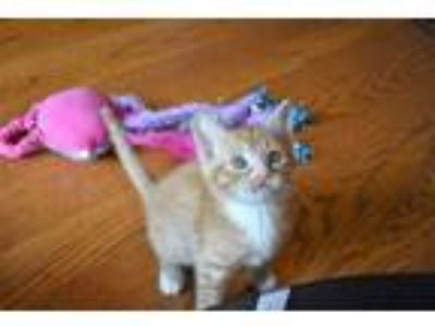 Adopt Roo - Athens, GA a Domestic Short Hair, Tabby