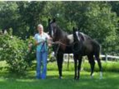 A Quality Exotic Black Straight Egyptian Arabian Mare