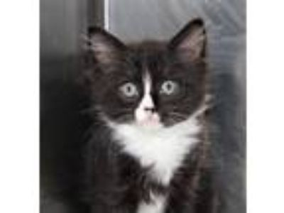Adopt Penny a Domestic Short Hair