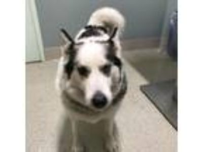 Adopt Nikko a Siberian Husky, Mixed Breed