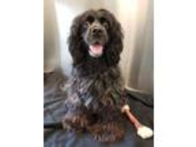 Adopt Flurry a Spaniel (Unknown Type) / Mixed dog in Pittsburgh, PA (25854915)