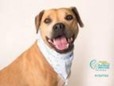 Adopt LALA a Staffordshire Bull Terrier