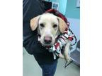 Adopt Lincoln a Labrador Retriever / Mixed dog in Birdsboro, PA (25614196)