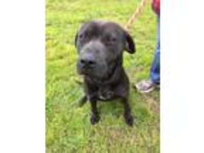 Adopt Patrick a Black Labrador Retriever / Mixed dog in Georgetown