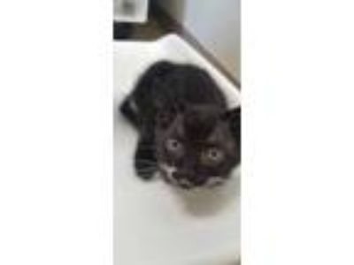 Adopt Kale a All Black Domestic Shorthair / Domestic Shorthair / Mixed cat in
