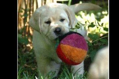 Belquest English Labrador Retriever Puppies