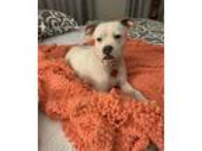 Adopt Lady Davis Lonestar a White Boxer / Boston Terrier / Mixed dog in