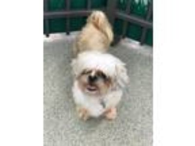 Adopt Rocky a White - with Gray or Silver Shih Tzu / Mixed dog in Beverly Hills