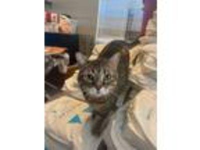 Adopt Maisy a British Shorthair, Tabby