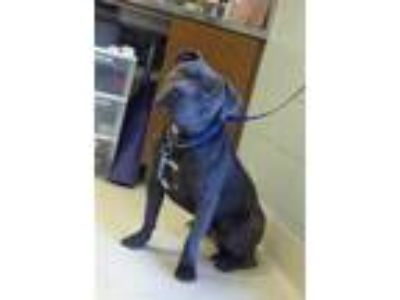 Adopt TINY TIM a Pit Bull Terrier
