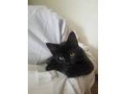 Adopt Ricco a All Black Domestic Shorthair / Domestic Shorthair / Mixed cat in