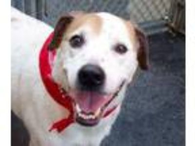 Adopt Jimmy a Jack Russell Terrier
