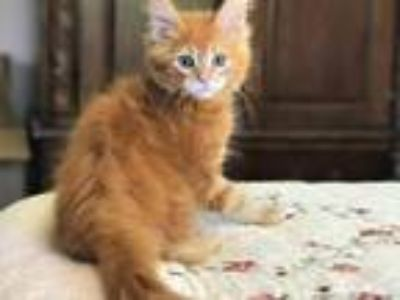 Maine Coon Orange Female Kitten