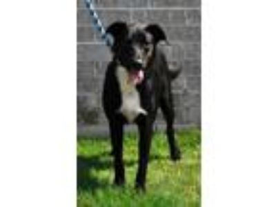 Adopt Toby a Shepherd (Unknown Type) / Labrador Retriever / Mixed dog in Little
