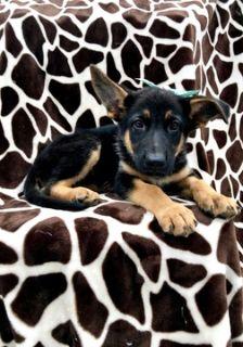 German Shepherd Dog PUPPY FOR SALE ADN-90036 - Take Home AKC Josephine TODAY