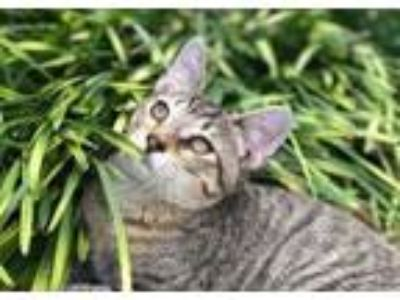 Adopt Doc Holiday a Domestic Short Hair