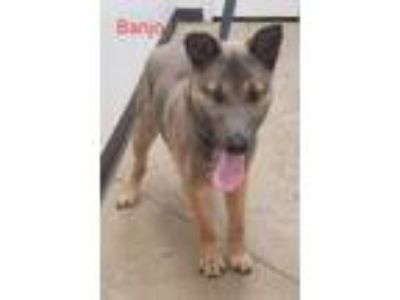 Adopt Banjo a German Shepherd Dog