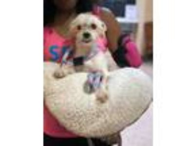 Adopt Benji a Tan/Yellow/Fawn Terrier (Unknown Type, Small) / Mixed dog in