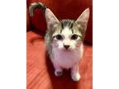 Adopt Ross a Brown or Chocolate Domestic Shorthair / Domestic Shorthair / Mixed