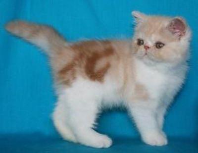 10 week old Purebred Bengal Kitten