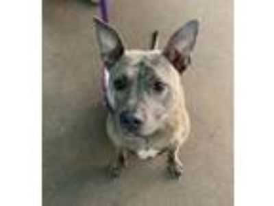 Adopt Leah a Brindle Staffordshire Bull Terrier / Mixed dog in Portage