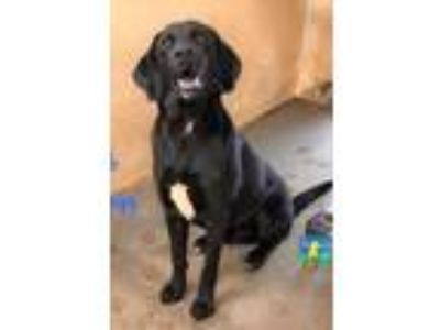 Adopt Mac a Black Labrador Retriever / Mixed dog in Loxahatchee, FL (25896887)