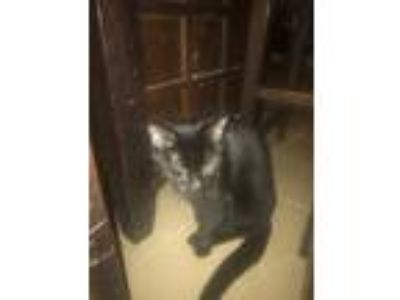 Adopt Phoebe a All Black Domestic Mediumhair / Mixed cat in Temple