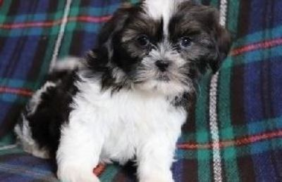 jhgkguykf Shih tzu puppies ready for a lovely home