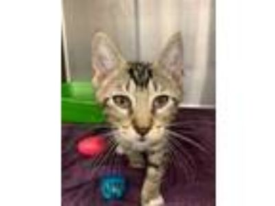 Adopt Ice-T a Gray or Blue Domestic Shorthair / Domestic Shorthair / Mixed cat