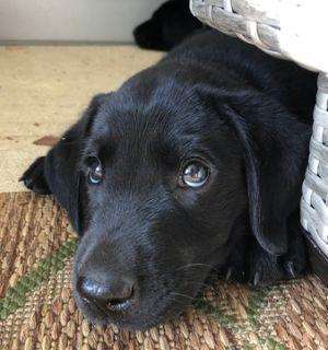 Labrador Retriever PUPPY FOR SALE ADN-91033 - AKC Black Lab Pups born July 1