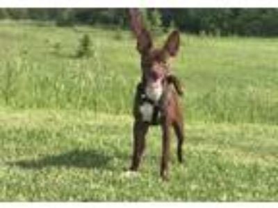 Adopt Godiva a Brown/Chocolate - with White Miniature Pinscher / Mixed dog in