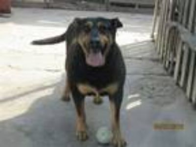 Adopt Rocky a Rottweiler / Mixed dog in San Diego, CA (23780710)