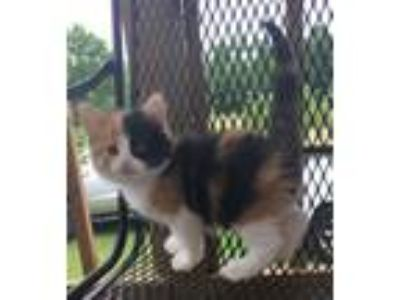 Adopt Meeka a Calico / Mixed (medium coat) cat in Little Rock, AR (25313614)