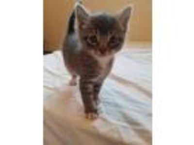 Adopt Tammy a Brown Tabby Domestic Shorthair (short coat) cat in Toms River