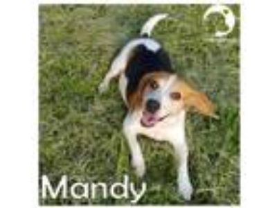 Adopt Mandy a Tricolor (Tan/Brown & Black & White) Beagle / Mixed dog in