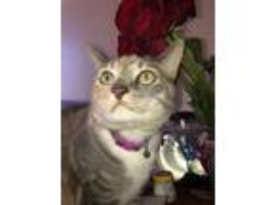 Adopt diamond a Gray, Blue or Silver Tabby Calico / Mixed cat in Desert Hot