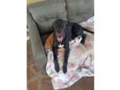 Adopt Piper a Black - with White Great Dane dog in San Fernando, CA (25770182)