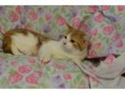 Adopt Bonnie Bunny a Domestic Shorthair / Mixed cat in Westmont, IL (25226243)