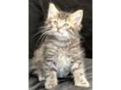 Adopt Clark Lee a Tiger Striped Domestic Longhair (long coat) cat in Newland